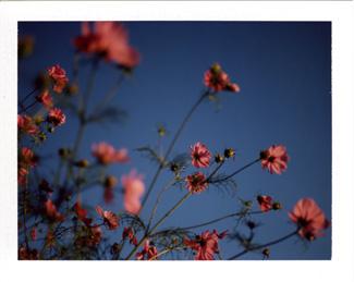 Pink Cosmos Polaroid Image B