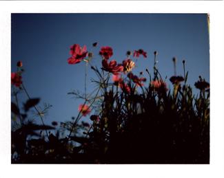 Pink Cosmos Polaroid Image A